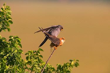 Red-footed Falcon (Falco vespertinus) pair mating, Hungary. June