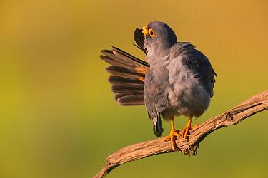 Red-footed Falcon (Falco vespertinus) male preening, Hungary. June