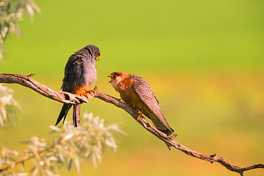 Red-footed falcon (Falco vespertinus) male female pair, Hungary. June