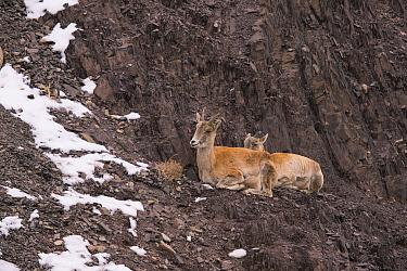 Blue Sheep (Pseudois nayaur) resting Ladakh India. November
