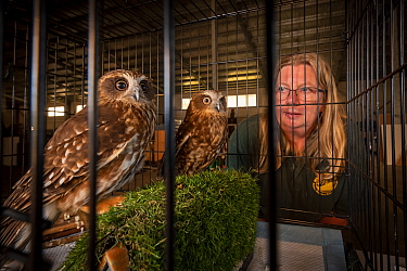 Jacky Hunt, specialist in bird rescue and rehabilitation, with two Boobook owls (Ninox boobook), which she is providing temporary accommodation for in her factory. These birds were evacuated from the...