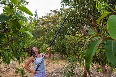 Julie Jennings, senior wildlife carer for Port Stephens Koalas, collects eucalyptus branches to feed to the koalas (Phascolarctos cinereus) under her care, using a long arm branch cutter. One Mile, N...