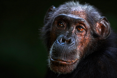 Eastern chimpanzee (Pan troglodytes schweinfurtheii) female 'Sparrow' aged 55 years portrait . Gombe National Park, Tanzania. May 2014.