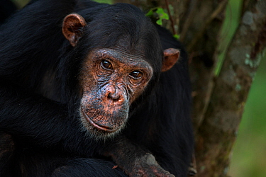 Eastern chimpanzee (Pan troglodytes schweinfurtheii) adolescent male 'Fundi' aged 14 years portrait . Gombe National Park, Tanzania. May 2014.