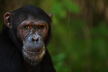 Eastern chimpanzee (Pan troglodytes schweinfurtheii) male 'Fudge' aged 17 years portrait . Gombe National Park, Tanzania. May 2014.