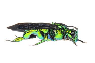Green Orchid Bee (Euglossa spp) Iwokrama, Guyana. Meetyourneighbours.net project