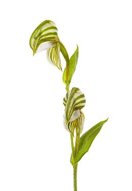 Banded Greenhood (Pterostylis vittata), Western Australia. meetyourneighbours.net project