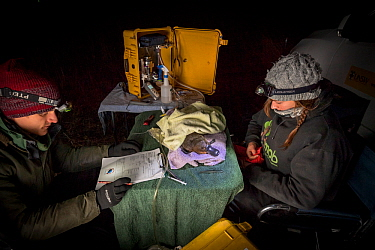 Volunteer field assistant recording data from an anaesthetised platypus (Ornithorhynchus anatinus) as it starts to recover from the anesthetic. It was anaesthetised so a temporary radio transponder co...