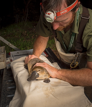 Platypus researcher holding a platypus (Ornithorhynchus anatinus) which was captured as part of a Melbourne Water study to monitor the local population. Chum Creek, Healsville, Victoria, Australia. Ma...