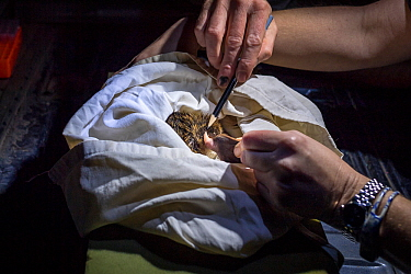 Researcher examining the spur of a platypus (Ornithorhynchus anatinus) that was captured as part of a Melbourne Water study into their distribution. Spurs can help a researchers age a male platypus. W...