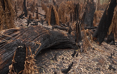 Blackened trees and scorched tree ferns in Monga National Park, New South Wales, Australia. Damage caused by the December 2019 - January 2020 bushfires. Stressed trees have dropped scorched leaves ont...