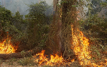 Bushfire in a moist gully near the Clyde River, New South Wales, Australia. This wet gully is normally resistant to fire but has succumbed after months of severe drought and record-breaking temperatur...