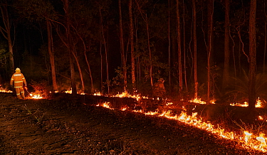 Members of the Angledale Rural Fire Service brigade light up a backburn to protect the edge of Bermagui township, New South Wales, Australia. January 2020.