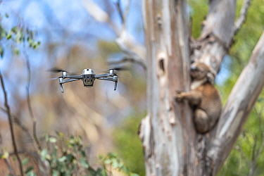 Drone, operated by a member of the Victorian Police Remote Piloted Aircraft Systems (Police Air Wing, Specialist Response Division) hovers near a koala (Phascolarctos cinereus). This drone is being us...