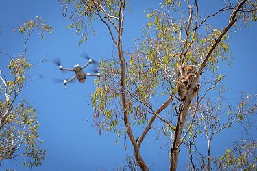 Drone, operated bya member of the Victorian Police Remote Piloted Aircraft Systems (Police Air Wing, Specialist Response Division) hovers near a koala (Phascolarctos cinereus). This drone is being use...
