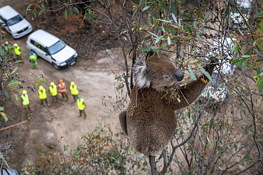 Koala (Phascolarctos cinereus) in a Eucalyptus tree after recent bushfires, just before having a visual inspection. If it is determined that a closer examination is required to determine its health, i...