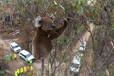 Koala (Phascolarctos cinereus) in a Eucalyptus tree after recent bushfires, just before having a visual inspection for its health. If it is determined that a closer examination is required to determin...