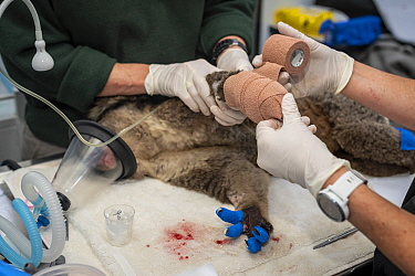 Anaesthetised female Koala (Phascolarctos cinereus) is treated for burns to all her feet at a mobile wildlife triage centre at Bairnsdale (which was set up to treat animals as a result of the bushfire...