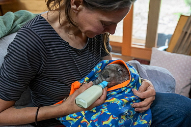 Wombat (Vombatus ursinus) is bottle fed by Rena Gaborov - wildlife rescuer and carer - in Renas mothers lounge. Rena and her partner Joseph had to evacuate their wildlife (wombats, possums and kangaro...