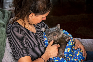 Wombat (Vombatus ursinus) is cared for by Rena Gaborov - wildlife rescuer and carer - in Renas mothers lounge. Rena and her partner Joseph had to evacuate their wildlife (wombats, possums and kangaroo...