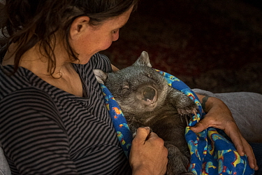 Wombat (Vombatus ursinus) male is cared for by Rena Gaborov - wildlife rescuer and carer - in Renas mothers lounge.Rena and her partner Joseph had to evacuate their wildlife (wombats, possums and kang...