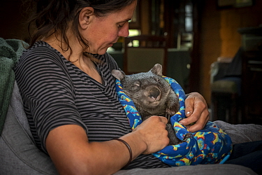 A male bare-nosed wombat (Vombatus ursinus) cared for by Rena Gaborov - wildlife rescuer and carer - in Renas mothers lounge. Rena and her partner Joseph had to evacuate their wildlife (wombats, possu...