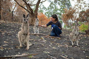 Wildlife rescuer and carer Rena Gaborov with orphaned eastern grey kangaroos (Macropus giganteus) in the burnt-out yard at her mother's property at Sarsfield. Rena and her partner Joseph had to evacua...