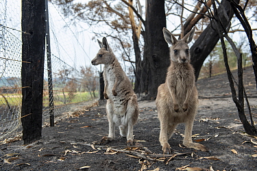 Orphaned eastern grey kangaroos (Macropus giganteus) in the burnt-out yard at her mother's property at Sarsfield. Rena Gaborov and her partner Joseph had to evacuate their wildlife (wombats, possums a...