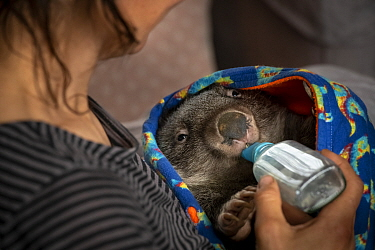 Wombat (Vombatus ursinus) male is bottle fed by Rena Gaborov - wildlife rescuer and carer. Rena and her partner Joseph had to evacuate their wildlife (wombats, possums and kangaroos) from their home a...