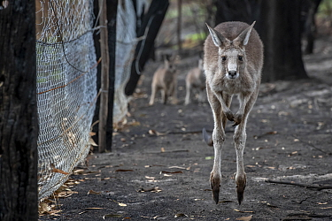 Orphaned Eastern grey kangaroos (Macropus giganteus) in the burnt-out yard at wildlife rescuer and carer Rena Gaborov mother's property at Sarsfield. Rena and her partner Joseph had to evacuate their...