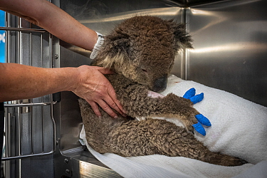 Koala (Phascolarctos cinereus) female anaesthetised to treat burns starting to recover. Mobile wildlife triage centre at Bairnsdale (which was set up to treat animals as a result of the bushfires that...