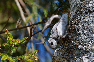 Siberian flying squirrel (Pteromys volans) wearing a radiocollar hangs on the trunk of a Downy birch tree (Betula pubescens) near its nest hole in mature mixed forest, near Iisaku, Estonia, April.