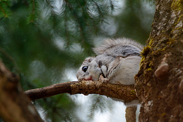 Siberian flying squirrel (Pteromys volans) wearing a radiocollar sitting on a branch in mature mixed forest, near Iisaku, Estonia, April.