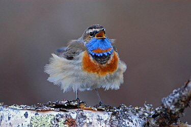 Male Bluethroat (Luscinia svecica) singing on a birch tree with feathers blowing in wind, Vauldalen, Sor-Trondelag, Norway, May