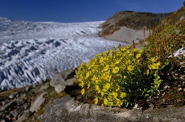 Yellow mountain saxifrage (Saxifraga aizoides) flowering by the Osterdalsisen Glacier, Saltfjellet-Svartisen National Park, Nordland, Norway, August 2006