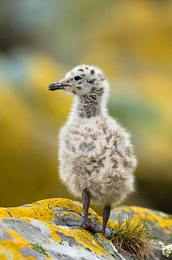 Herring gull (Larus argentatus) chick, Vardo, Varanger-peninsula, Finnmark, Norway, July