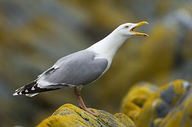Herring gull (Larus argentatus) calling, Vardo, Varanger-peninsula, Finnmark, Norway, July