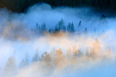 Mist over a Scots pine (Pinus sylvestris) / Norway spruce (Picea abies) forest at sunrise, near Yli-Kitka lake and Tolva village, Finland, July 2006