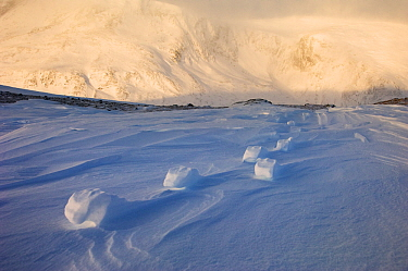 Muskox (Ovibos moschatus) footprints left in snow, Dovrefjell-Sunndalsfjella National Park, Norway, December 2007