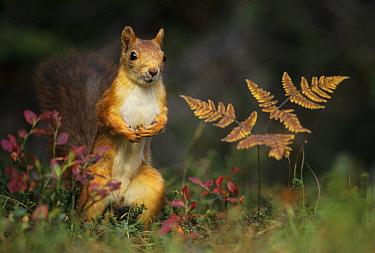 Red squirrel (Sciurus vulgaris) standing near fern, Norway, September