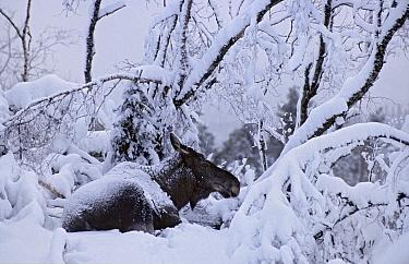 European elk / Moose (Alces alces) lying in snow, Trondheim, Norway, February