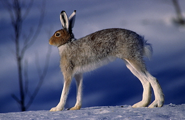 Mountain hare (Lepus timidus) standing on snow, Sor-Trondelag, Norway, April