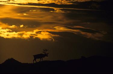 Wild Reindeer (Rangifer tarandus) silhouetted, Forollhogna National Park, Sor-Trondelag, Norway, September