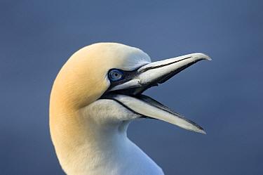 Northern gannet (Morus bassanus) calling, Iceland, May