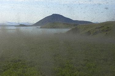 Midges (Chironomus islandicus) swarming, Myvatn, Iceland, June 2008