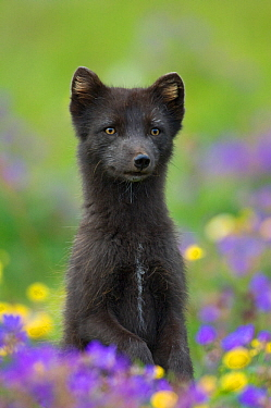 Male Arctic fox (Alopex lagopus) in summer coat, standing on hind legs in flower meadow, Hornstrandir Nature Reserve, West-fjords, Iceland, July