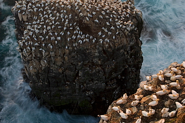 Northern gannet (Morus bassanus) colony on a sea stack, Seabird cliff, Langanes peninsula, Iceland, July