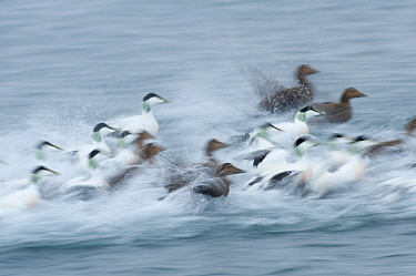 Eider ducks (Somateria mollissima) taking off from water, Norway, January