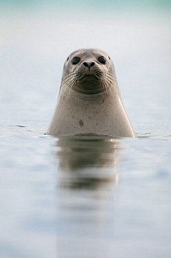 Common / Harbour seal (Phoca vitulina) looking out of water, Iceland, May