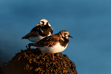 Two Turnstones (Arenaria interpres) on rock, Iceland, May